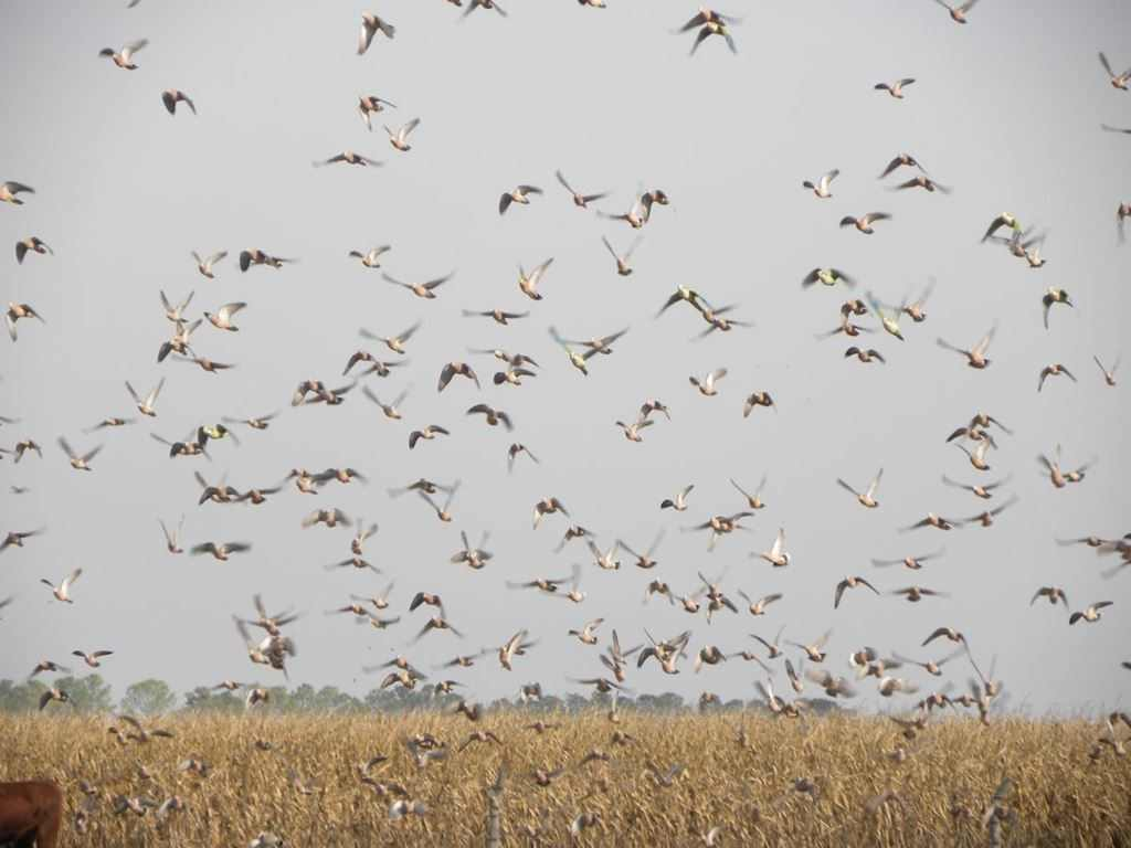 High volume dove hunt